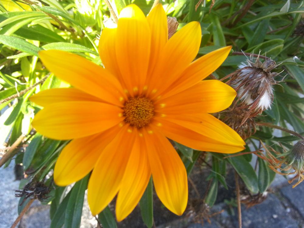 2013-09-07 11.32.09-gul blomst efteraar