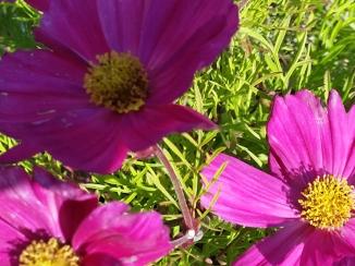 2014-07-02 16.19.20-sommerblomst-A