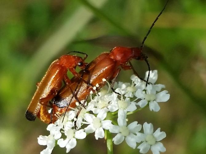 2015-07-22 17.59.34- Insekter på hvid blomst ved Fyrbakkerne