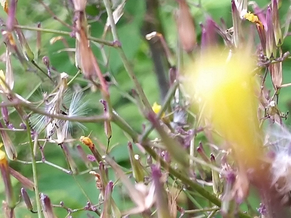 2015-07-22 18.01.28 Spinkel gul blomst